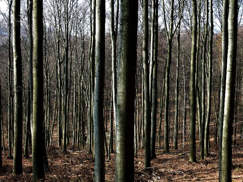 Odenwaldtypische Buchenwälder