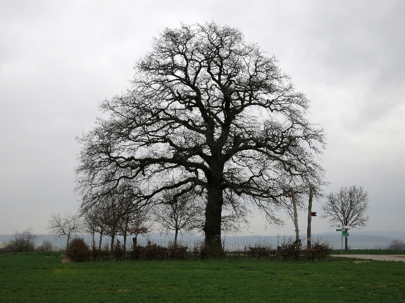 Lausbaum - diese Stiehleiche war der letzte rastplatz auf dem Weg von Leipzig nach Frankfurt.