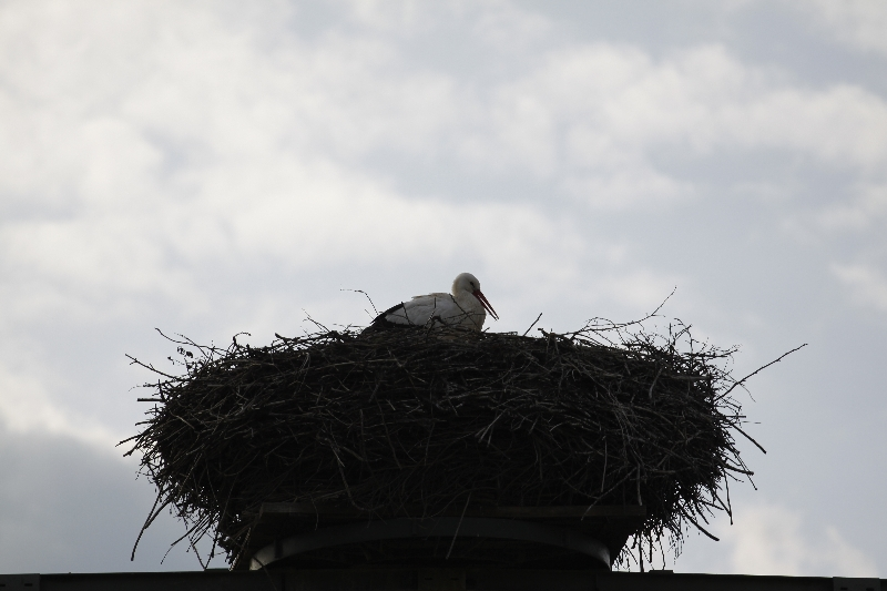 Münsterer Storch