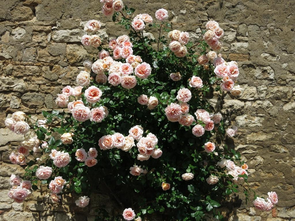 Blütenpracht am Mauerwerk