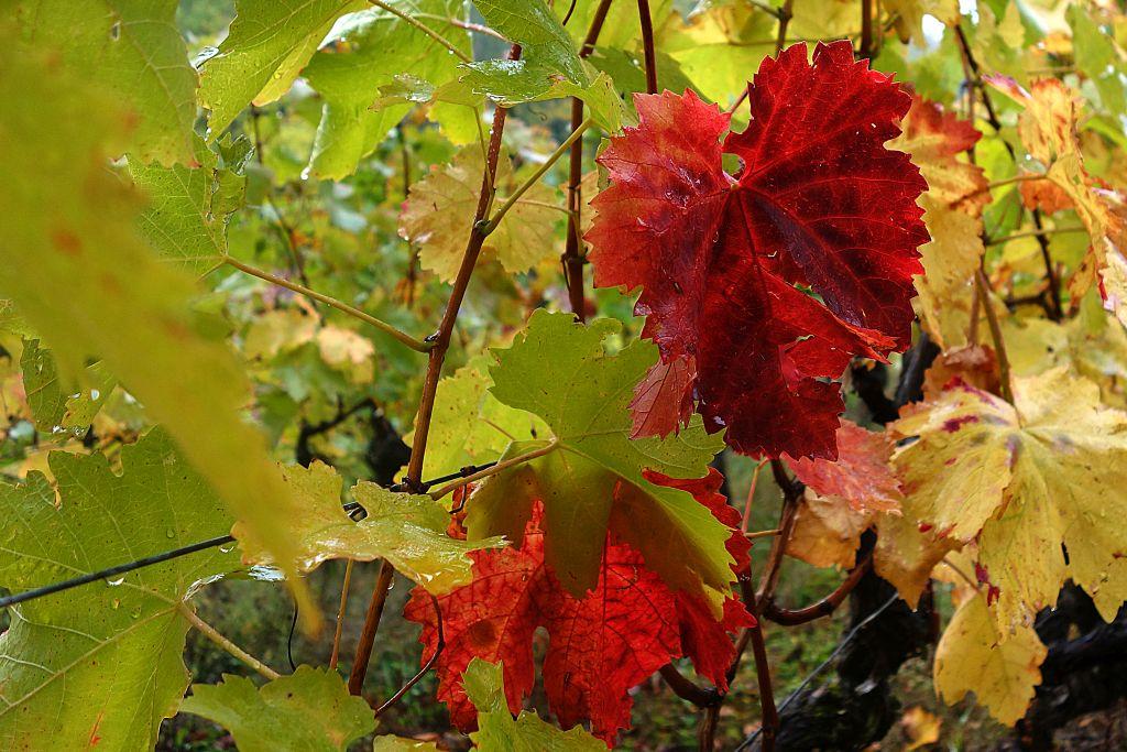 RotweinwanderwegI_20