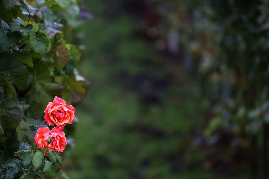RotweinwanderwegI_41