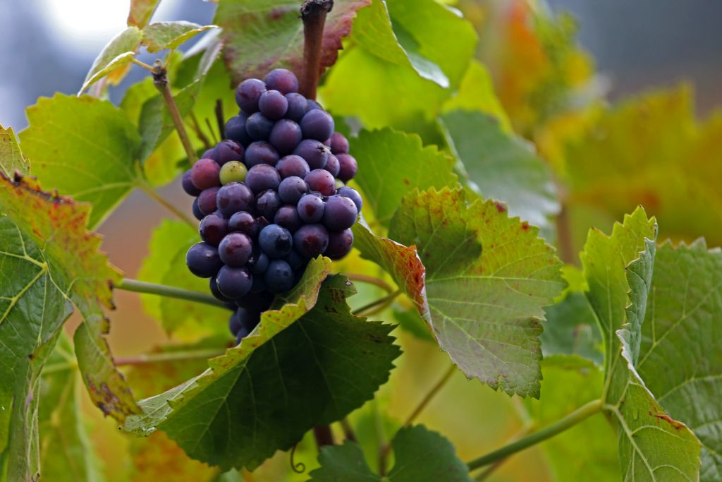 RotweinwanderwegI_74